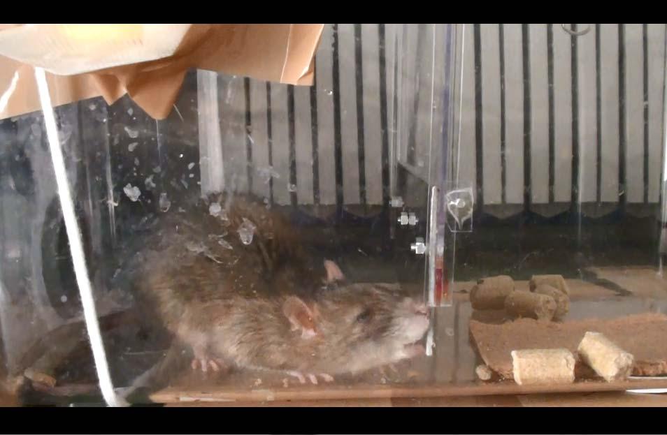 Rat Chew Steel Plate001